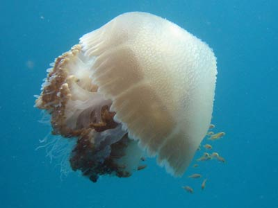 A jellyfish flanked by smaller fish