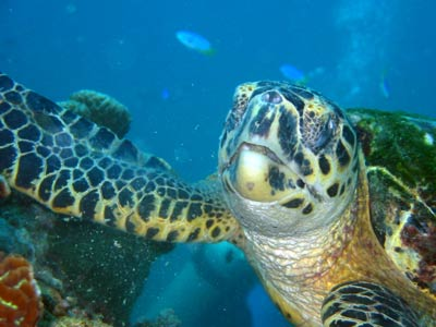 A close-up, straight-on shot of turtle feeding on the coral